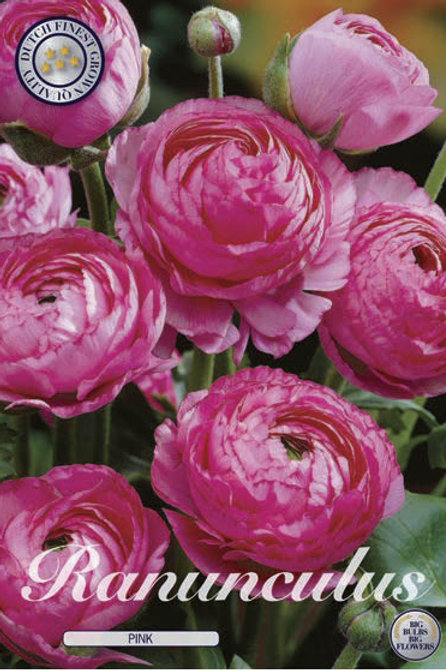 Ranunculus Rosa (10 piezas)