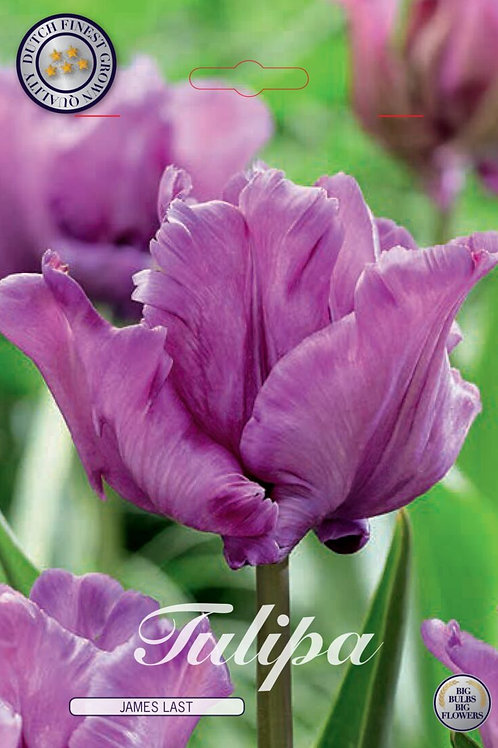 Tulipa James Last (7 bulbos)