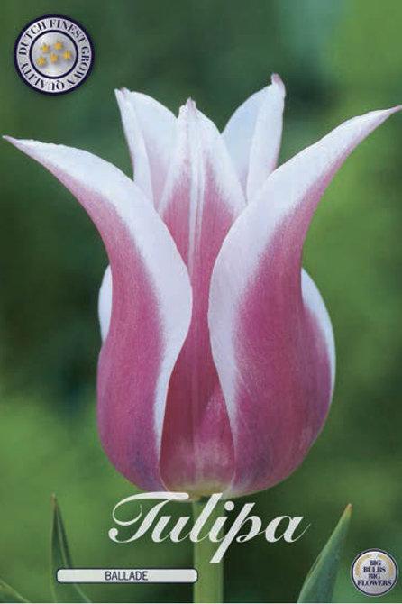 Tulipa Ballade (10 unidades)