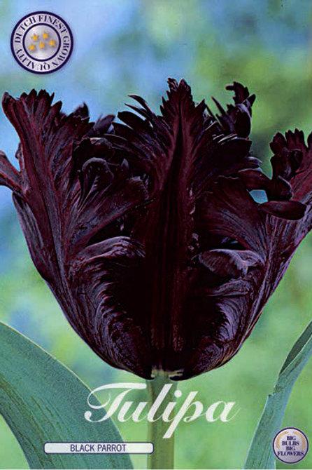 Tulipan Negro Loro( Black parrot 7 unidades)