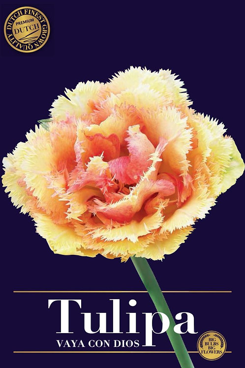 Tulipa Vaya con Dios ( 7 bulbos)