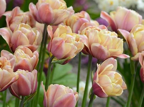 Tulipa Belle Epoque ( 7 bulbos)