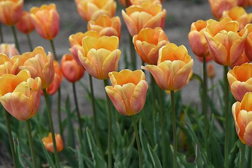Tulipa Albaricoque (Apricot Foxx, 10 bulbos)