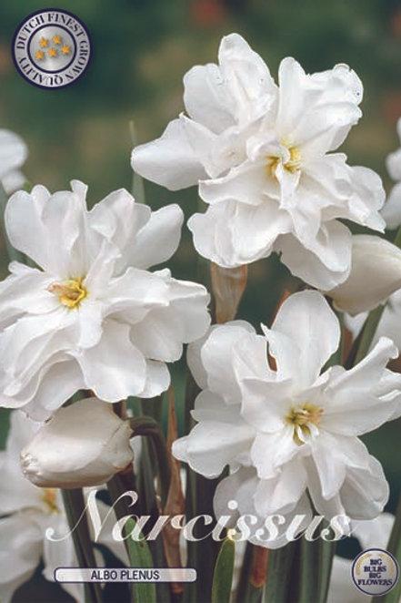 Narciso Albo Plenus