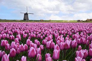 windmill_tulipsW.jpg