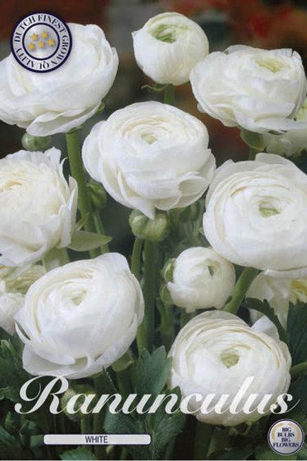 Ranunculus blanco