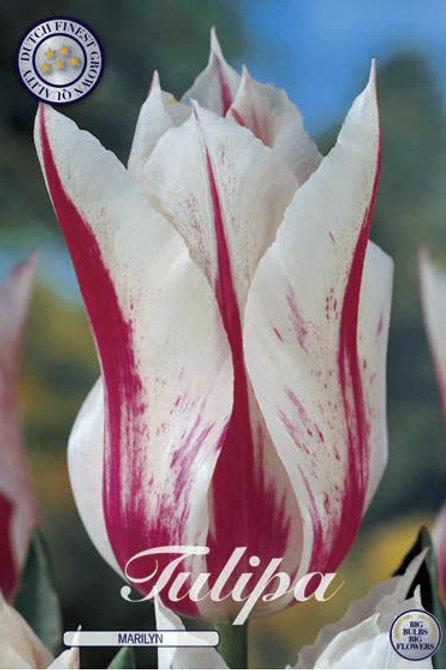 Tulipa Marilyn (10 unidades)
