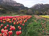 capolat_tulipes.jpg