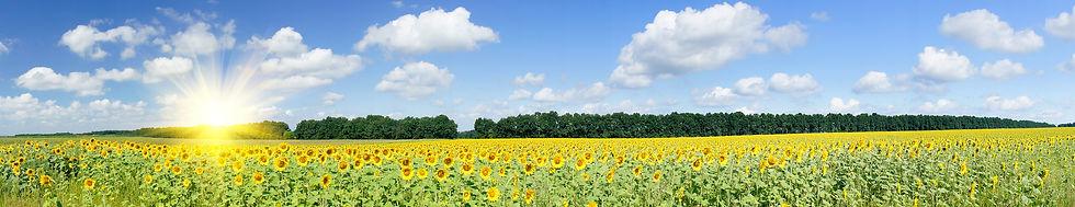 sunflowerheader.jpg