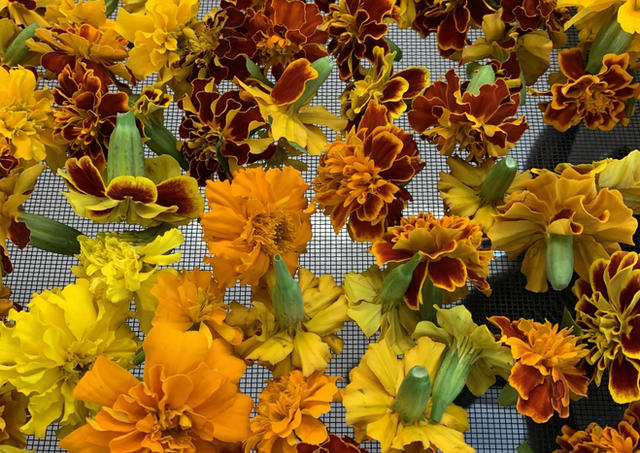 Marigolds drying
