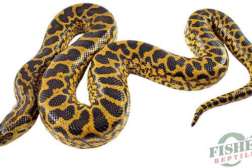 2021 Yellow Anaconda
