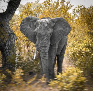 elefant_kruger_nationalpark.jpg