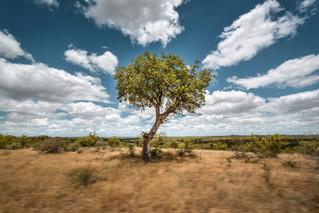 tree_kruger_nationalpark.jpg