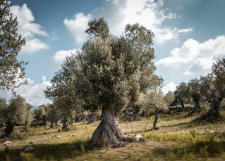 olivenbaum.jpg