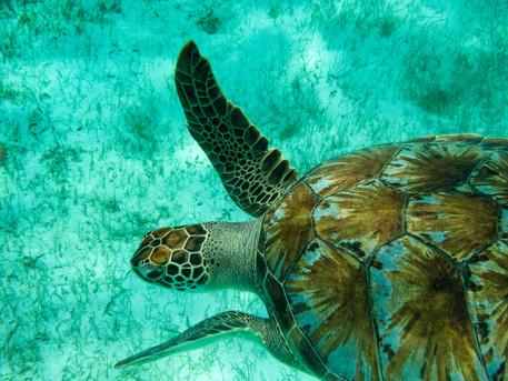 Green Turtle  copy.jpg