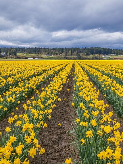 field-of-beautiful-yellow-daffodils-pict