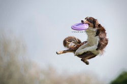 Catch by border collie