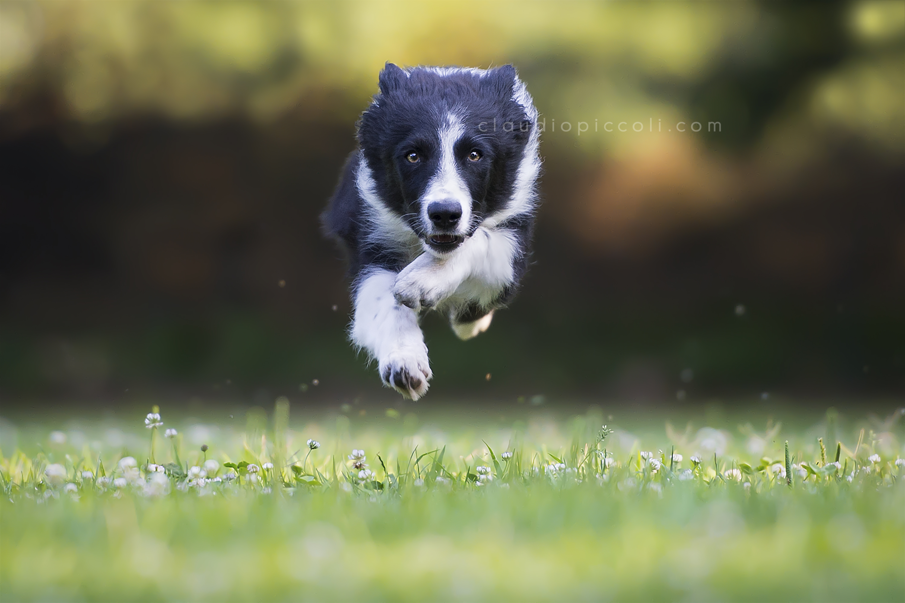 An intense puppy of Border Collie