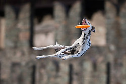 Dalmatian Dog Photography