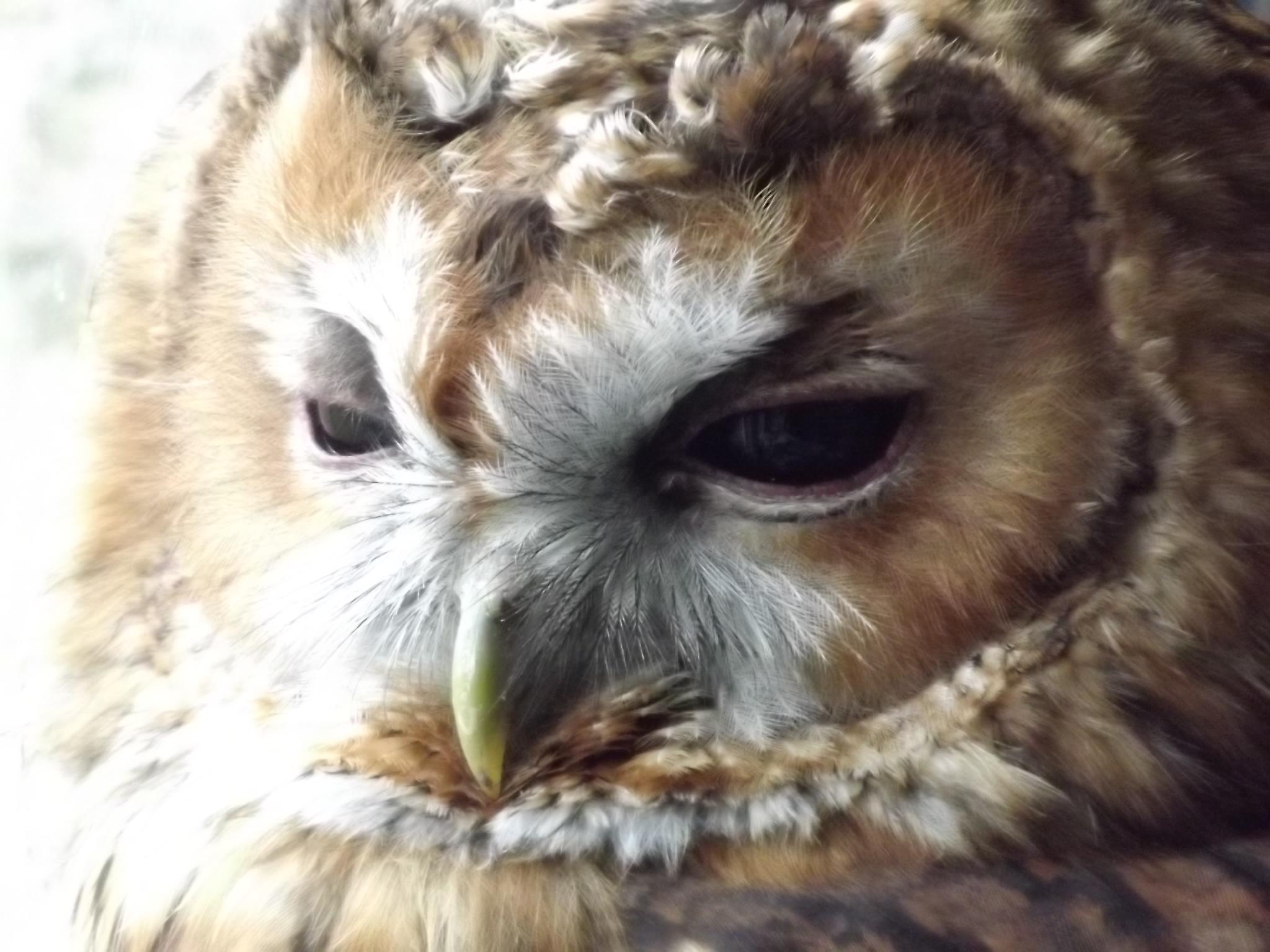 Visiting Barn Owl