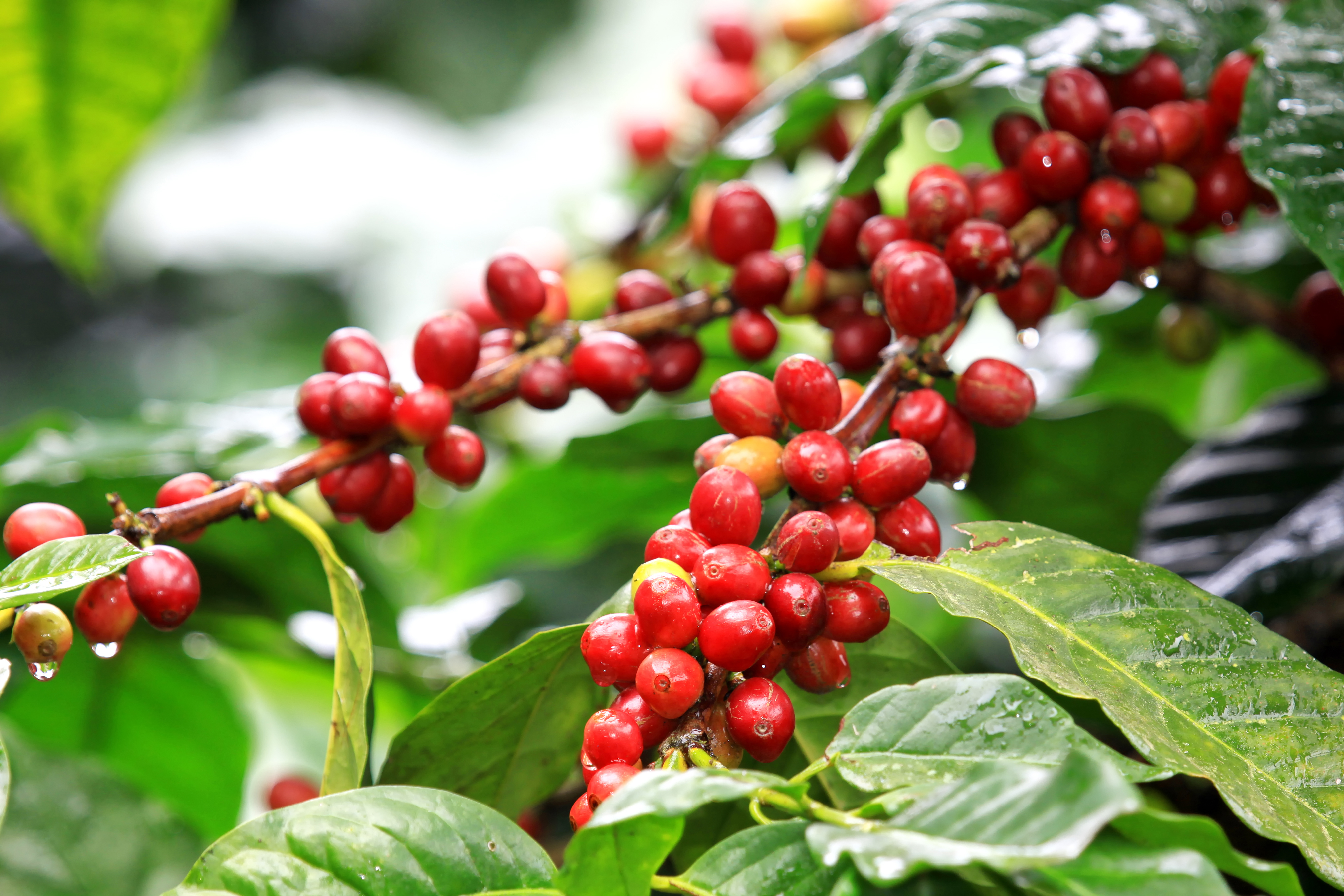 Coffee beans ripening, fresh coffee,red
