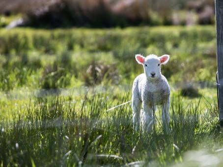 God's Precious Lamb