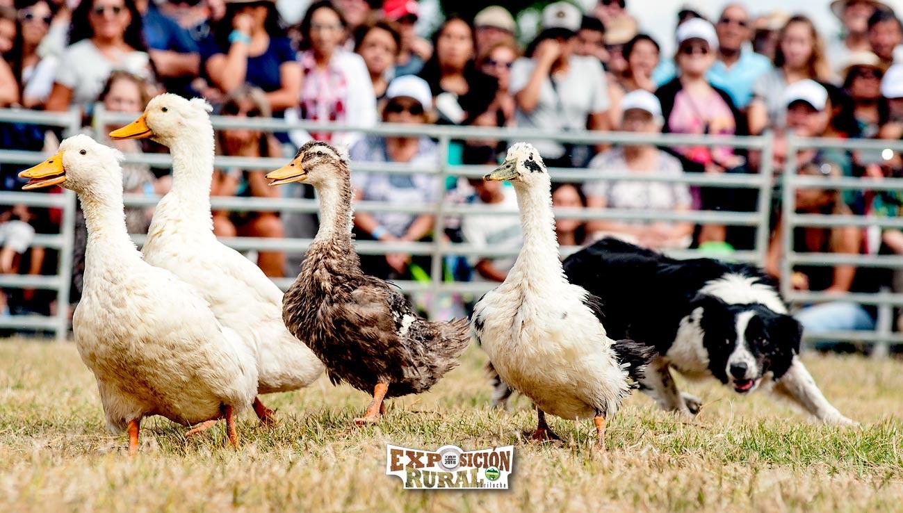 Perrita Pastora con patos