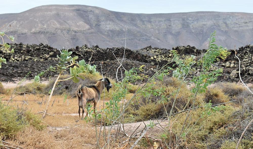 La cabra majorera es uno de los animales de la isla
