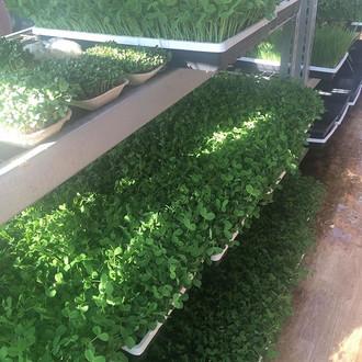 Microgreen Greenhouse