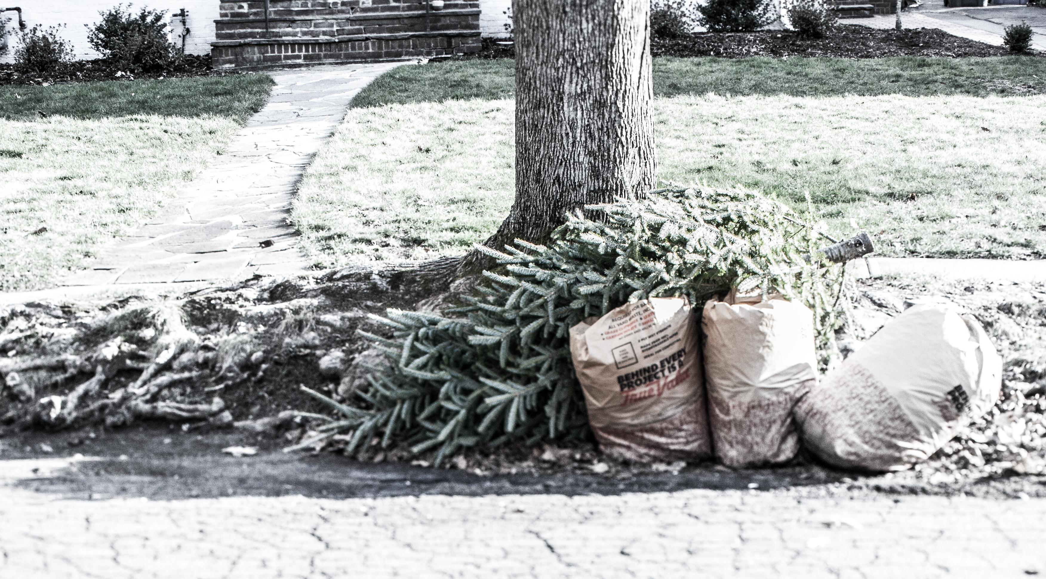 discarded xmas tree