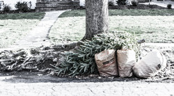 discarded xmas tree