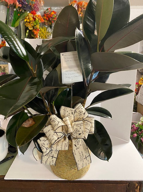 Rubber Plant, 10 inch