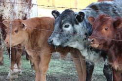 3 Little Heifers