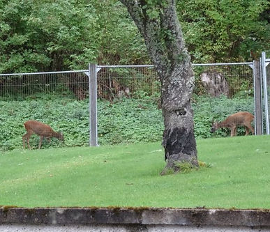 Deer Grazing by Scorrybreck B&B Dufftown