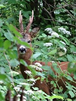 Roe Deer watching