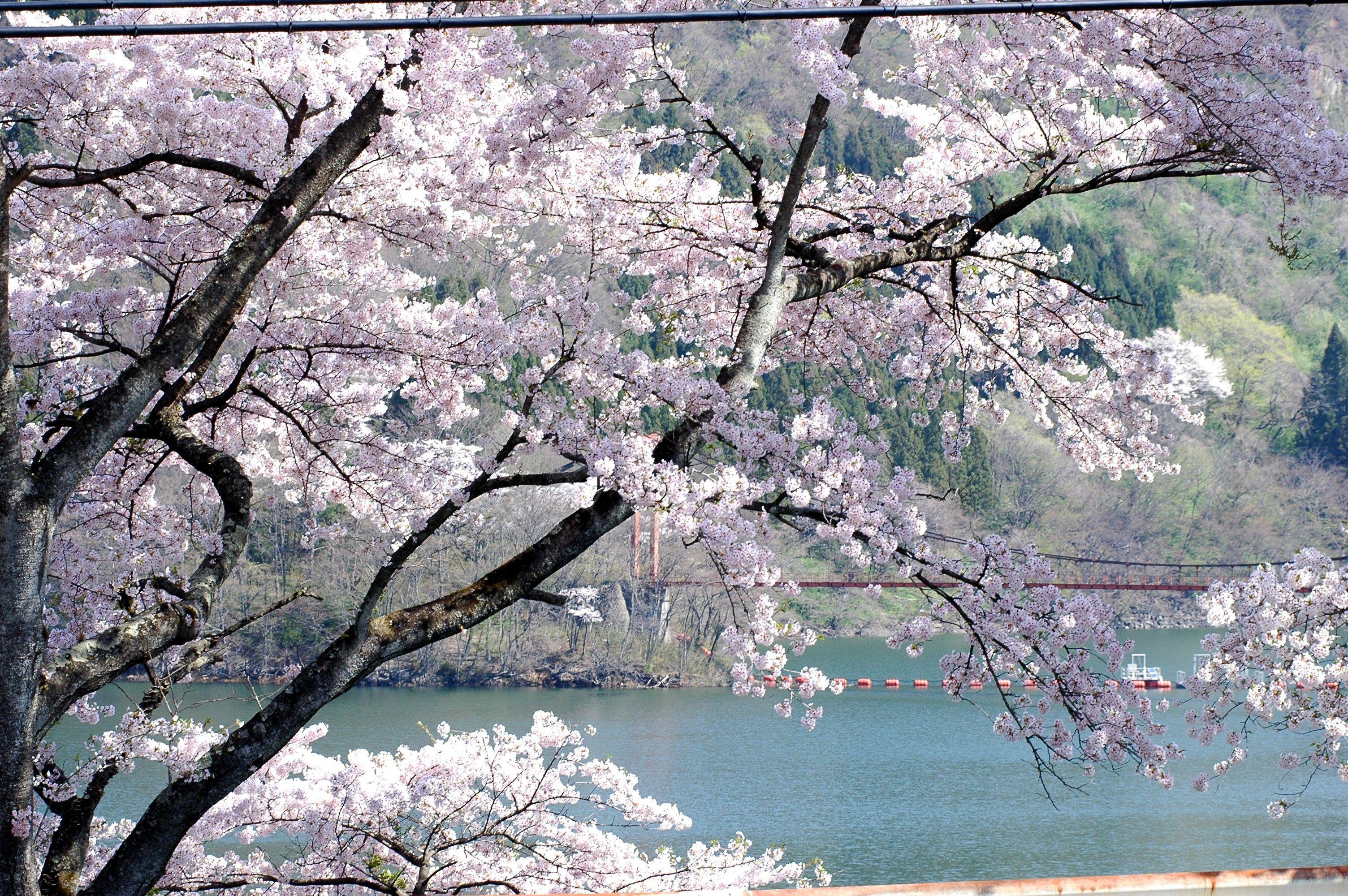 満開の桜が花山湖畔を彩ります。