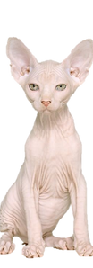 don sphynx.png