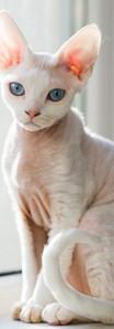 Devon Rex Cat Breed.jpeg