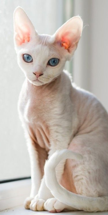 Devon Rex Cat Breed.jpeg