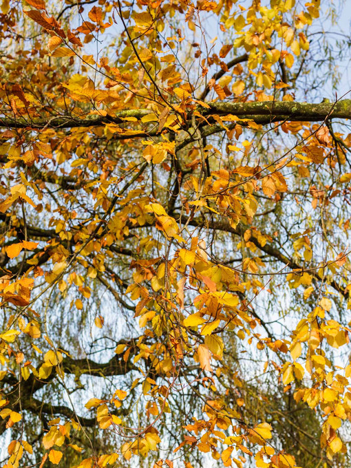 Brown and yellow autumn leaves on a tree