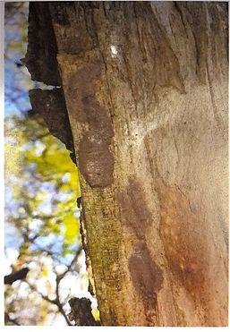 Spotted Lanternfly Egg masses.jpg