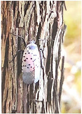 Spotted Lanterfly-Adult stage.jpg