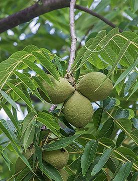 Black walnut-cropped.jpg