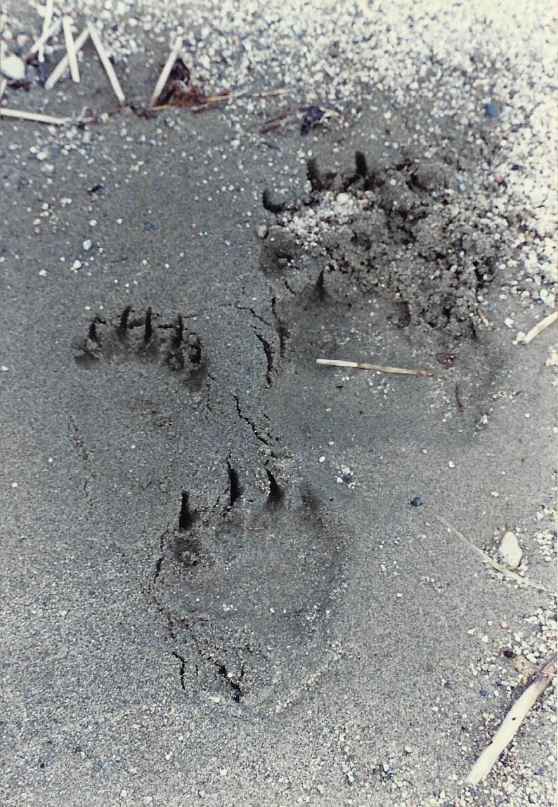 katmai - pawprints