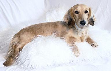 wiener wilderness shaded cream mini dachshund