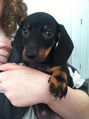 wiener wilderness miniature dachshund