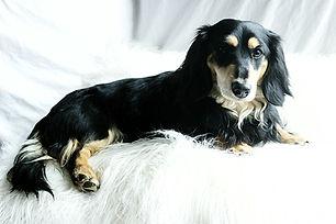wiener wilderness  black and cream mini dachshund