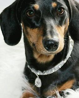 Bailey Wiener Wilderness mini dachshund black and tan