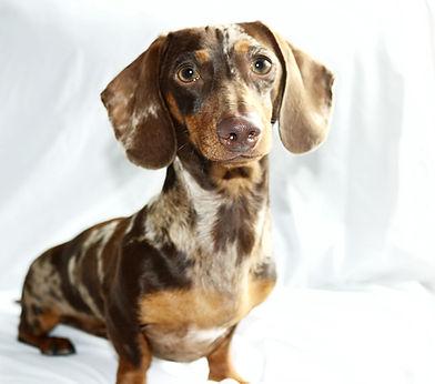 wiener wilderness  chocolate dapple mini dachshund