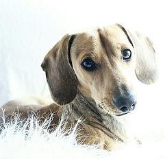 wiener wilderness  mini dachshund